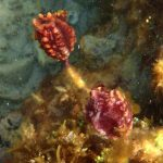 A pair of sea tulips underwater