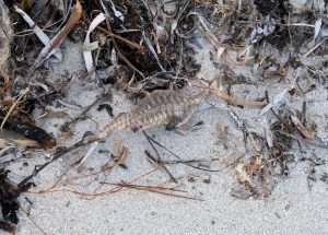 Common sea dragon, beached