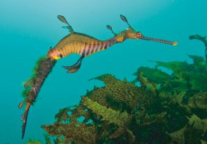 Common seadragon in ocean