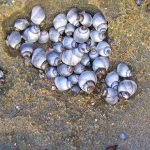 Periwinkle cluster