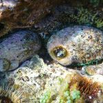 Abalone in shallow water
