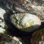 Abalone on reef